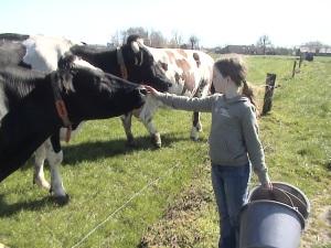 Koeien zijn nieuwsgierig..net als mensen